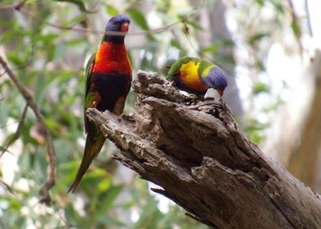 two rainbow lorikeets on an old tree branch