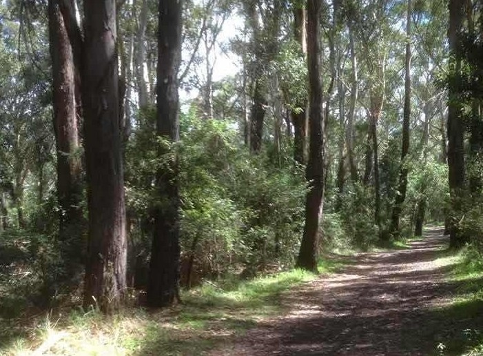 leafy path in forest with tall trees either side Blackbutt Reserve