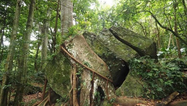 tree roots wrapped around a large mossy rock in the rainforest